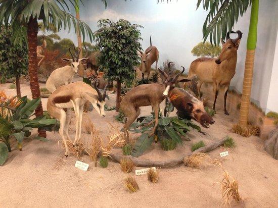 Rosenbruch Wildlife Museum : Africa Forest-Springbok, Bush Pig, Hartebeast