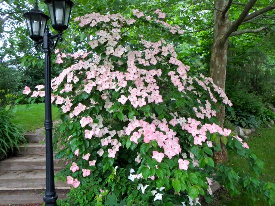 Blomidon Inn : Dogwood in Garden