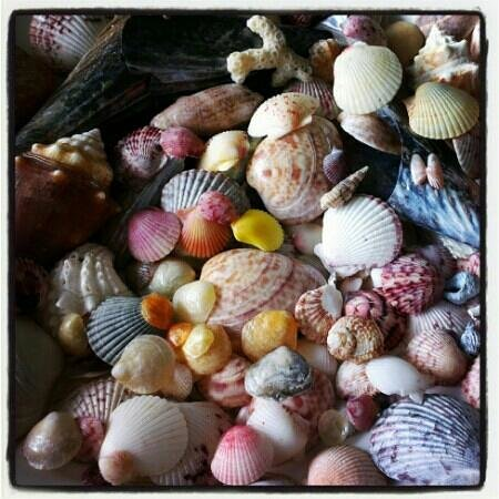 Gulf Tides of Longboat Key: Shells collected from the beaches in the area