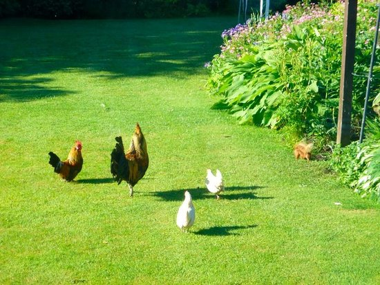 Netherdene Country House Bed & Breakfast: Chickens and red squirrel in garden