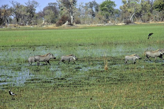 Sanctuary Baines' Camp: warthogs on the flooded plains