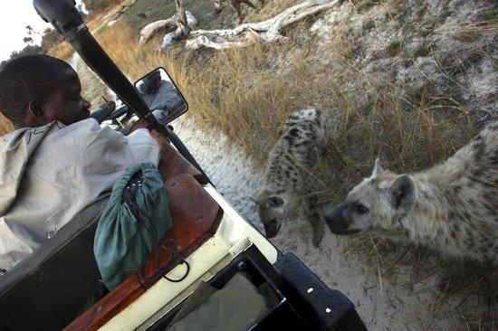 Sanctuary Baines' Camp: wonderful hyena encounter