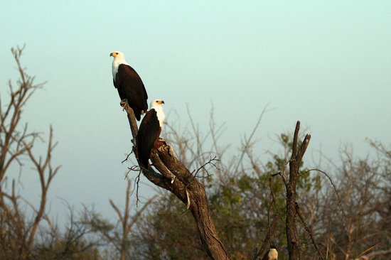 Sanctuary Baines' Camp: many African Fish Eagles in this area