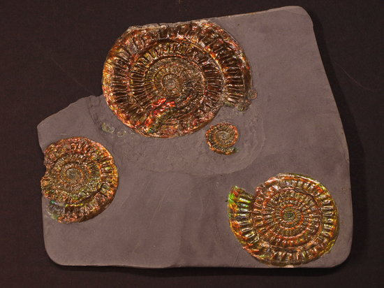 Dinosaurland Fossil Museum: ammonites with mother of pearl preservation