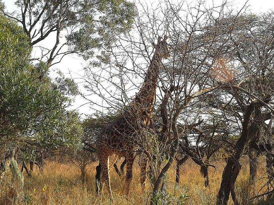 Zululand Safari Lodge: réveil par les girafes