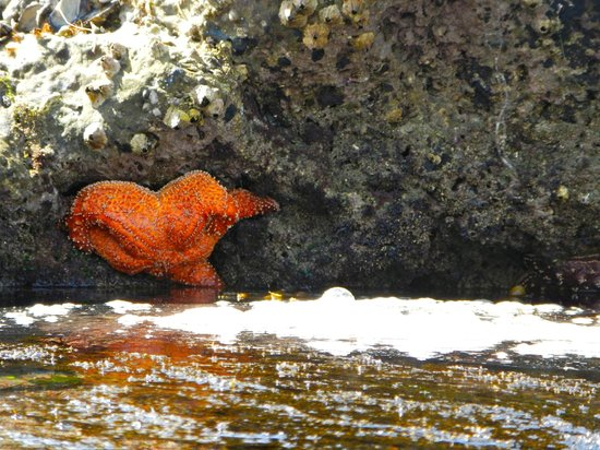 Leo Carrillo State Park and Beach: Starfish!