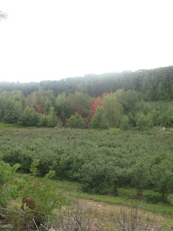 Troy, NH: Hills of blueberries