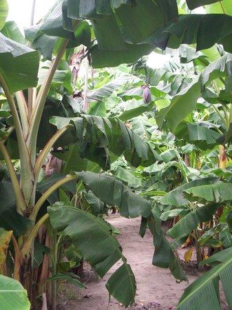 Coastal Georgia Botanical Gardens: Banana grove