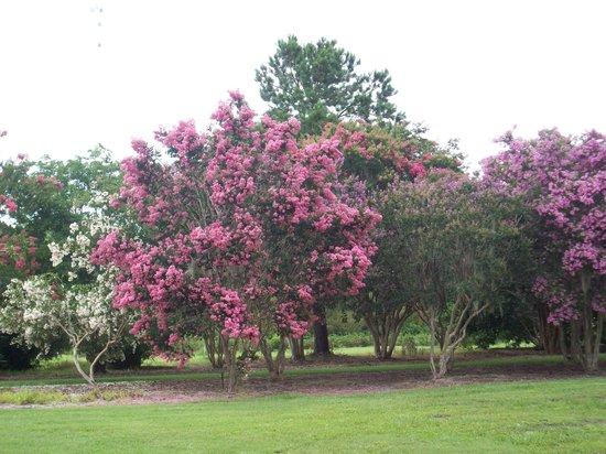 Coastal Georgia Botanical Gardens: Crape myrtles
