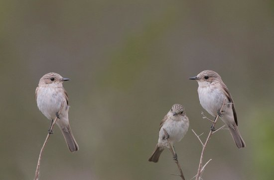 Parque natural s'Albufera de Mallorca: Grå flugsnapparfamilj