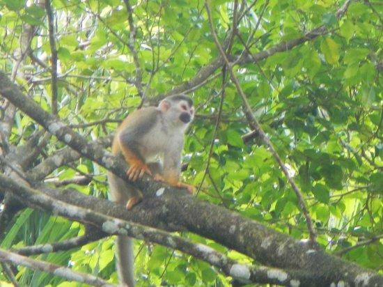 Tulemar Bungalows & Villas: Monkey at the beach!