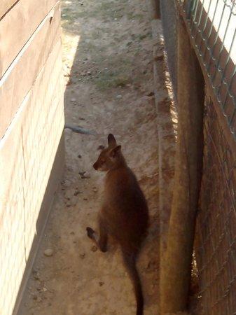 Le Parc Australien : voici un bébé kangourou