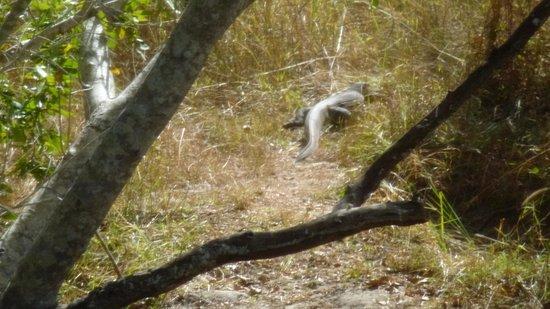Lufupa Bush Camp: Monitor Lizard