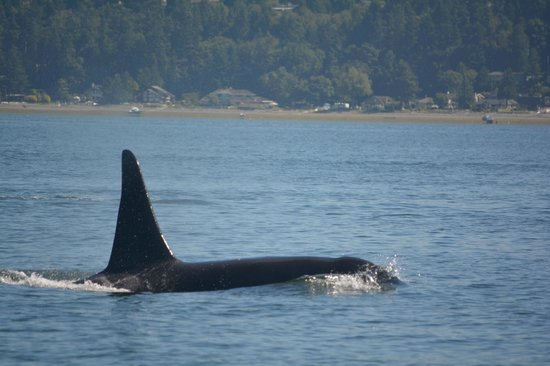 Vancouver Whale Watch: Near our boat!