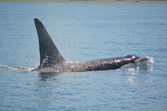 Vancouver Whale Watch: Near the boat!