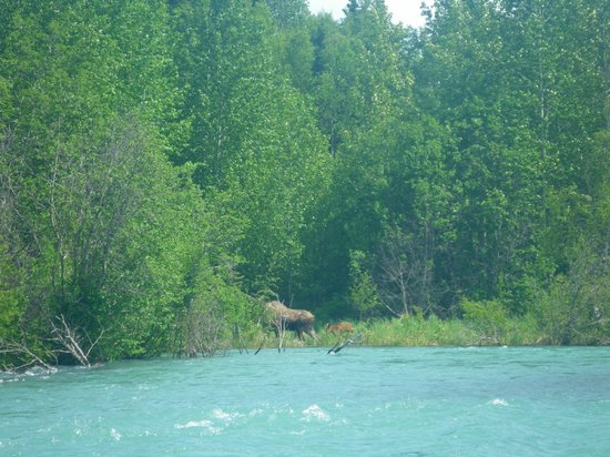 Drifters Lodge Fishing and Activities: Cow and calf moose