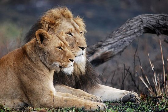 Lions Valley Lodge: Lions at the lodge