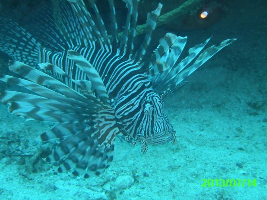 Scuba Safaris: lionfish posing