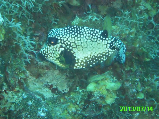Scuba Safaris: trunkfish