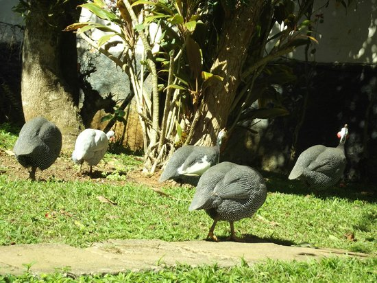 Sao Roque: Galinhas Da Angola