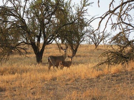 Seven Quails Vineyards Bed & Breakfast: Deers