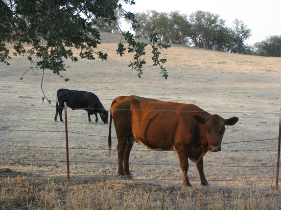 Seven Quails Vineyards Bed & Breakfast: Cows on the way out from B&B