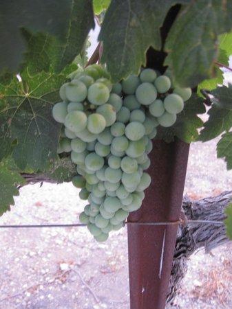 Seven Quails Vineyards Bed & Breakfast: vineyards