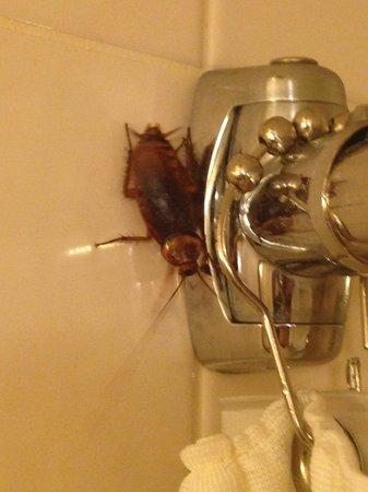 Minneapolis Marriott City Center: Large, Active Cockroach