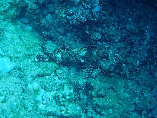 Banzai Divers Hawaii: scorpion fish