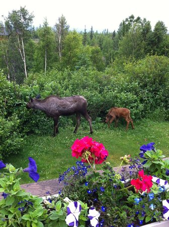 Susitna Sunsets Bed And Breakfast : What a great experience. We had a great time safely watching the moose have lunch.