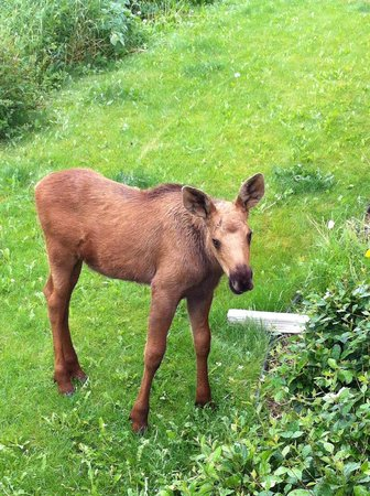 Susitna Sunsets Bed And Breakfast : Baby moose wandered to the front of the house. We watched it eat from the front deck.