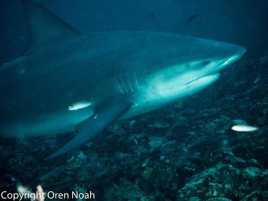 "Rocket Frog Divers: Bull Shark at ""Big Scare"" at the Bat Islands, Costa Rica"