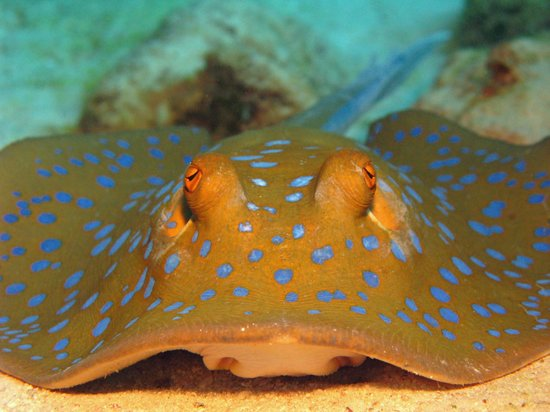 Hamata and Berenice, Egipto: Blue spotted rays are a favourite