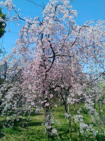 Yamadaike Park: 枝垂桜  桃園内にありました