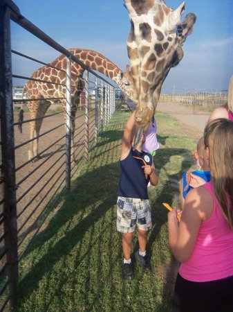 Hedrick's Exotic Animal Farm Bed and Breakfast: Feeding Giraffes on evening tour