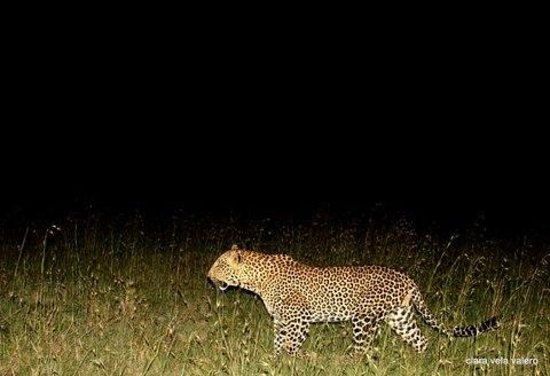 Cheetah Tented Camp: leopard