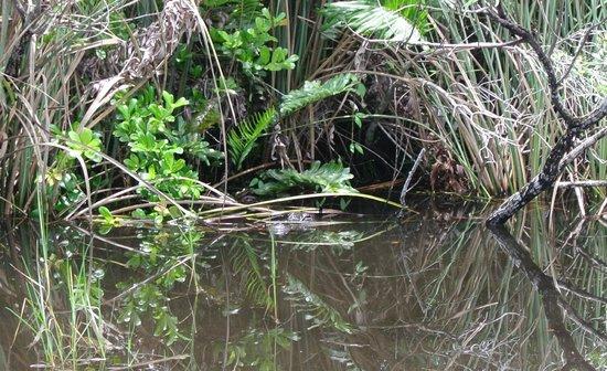 Air Boat USA: Alligator sighting