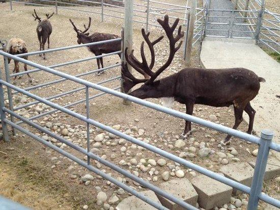 Cougar Mountain Zoo : Reindeer
