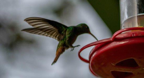 Lucky Bug B & B: Hummingbird on the veranda at breakfast