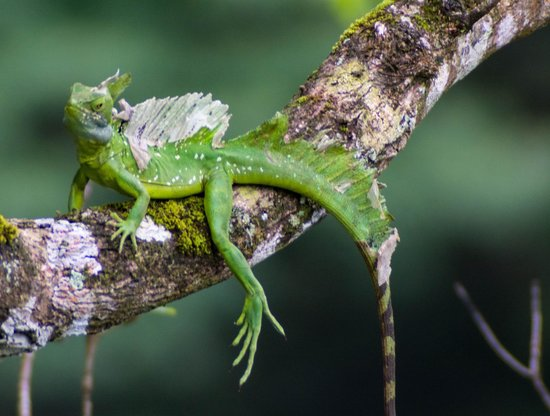"""Lucky Bug B & B: """"Jesus Christ"""" Lizard we spotted during breakfast"""