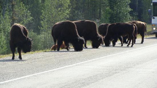 Alaska Highway: Buffulo next to Highway