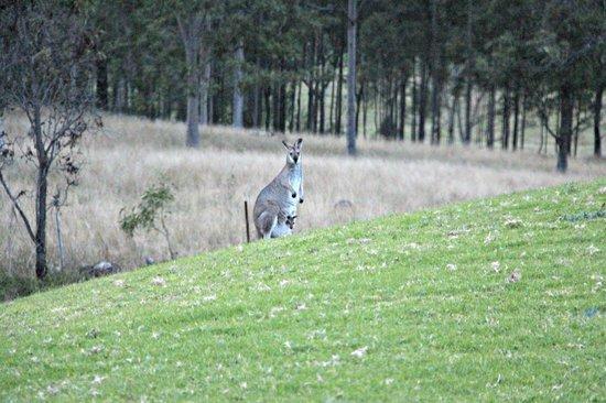 Golden Door Health Retreat & Spa Elysia : Lots of Kangaroos