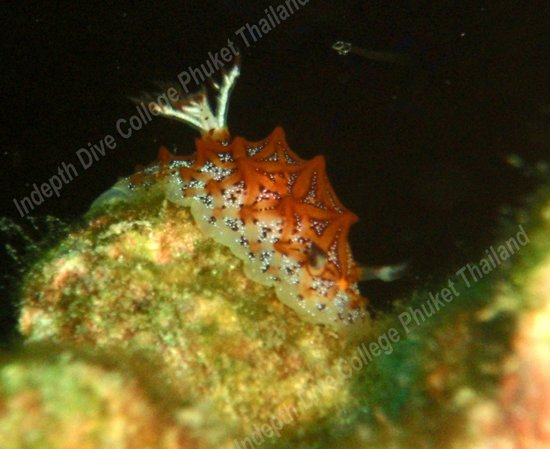 Indepth Dive College: Nudibranch - Halgerda Tessellata