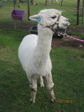 JPT Tour Group: Alpaca Roy