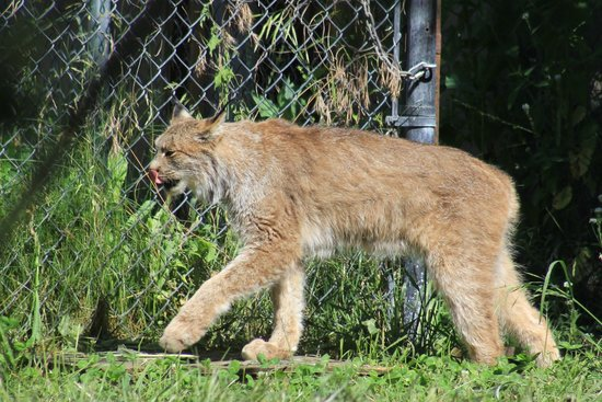 Kamloops Wildlife Park : lunx
