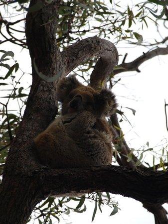 Raymond Island: koala