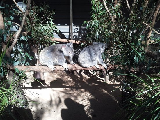 Lone Pine Koala Sanctuary: Many koala!!!