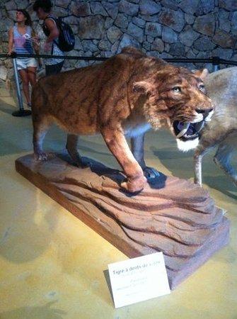 Musee de Prehistoire des gorges du Verdon : Tigre à dents de sabre
