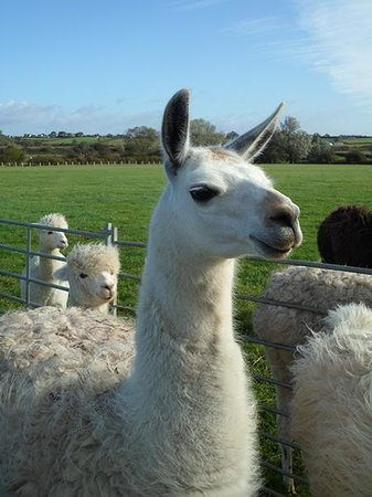 Royal Wootton Bassett, UK: Llama