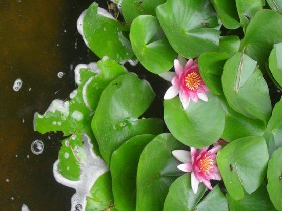 Jardin Santa Clotilde : ninfee